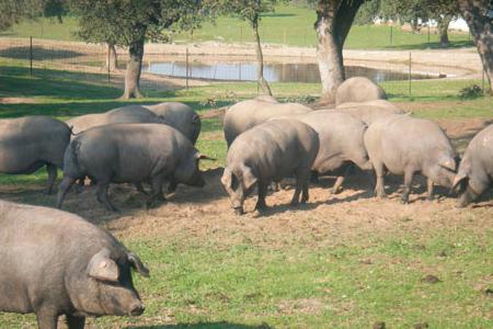 cerdos-industrias-carnicas-roal_450x300